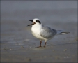 Forsters-Tern;Tern;Sterna-forsteri;feeding-behavior;one-animal;close-up;color-im