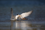 One;Royal-Tern;Sterna-maxima;Tern;avifauna;bird;birds;color-image;color-photogra