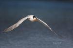Flying-Bird;Photography;Royal-Tern;Sterna-maxima;Tern;action;active;aloft;behavi