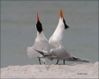 Royal-Tern;Tern;Breeding-Display;Breeding-Plumage;Breeding-Behavior;Sterna-maxim