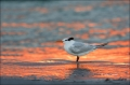 Royal-Tern;Tern;Sterna-maxima;Sunset;One;avifauna;bird;birds;feather;feathered;f