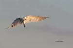 Animals-in-the-Wild;Feeding-Behavior;Flying-Bird;Photography;Sandwich-Tern;Stern