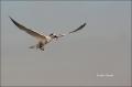 Flight;Sandwich-Tern;Tern;Sterna-sandvicensis;Feeding-Behavior;Flying-bird;actio