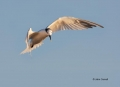 Flight;Sandwich-Tern;Tern;Sterna-sandvicensis;Feeding-Behavior;Flying-bird;actio