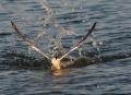 Feeding-Behavior;Flight;Sandwich-Tern;Tern;Sterna-sandvicensis;Flying-bird;actio