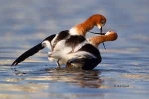 American-Avocet;Avocet;Breeding-Behavior;Breeding-Display;Breeding-Plumage;Post-