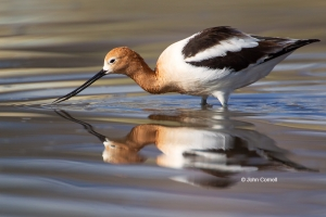 American-Avocet;Avocet;Breeding-Plumage;Forage;One;Recurvirostra-americana;Shore