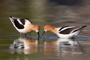 American-Avocet;Avocet;Recurvirostra-americana;Reflection;Shorebird;Shoreline;fo