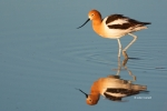 American-Avocet;Animals-in-the-Wild;Avocet;Breeding-Plumage;Mud-Flat;Photography
