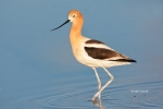 American-Avocet;Animals-in-the-Wild;Avocet;Breeding-Plumage;Mud-Flat;One;Photogr