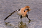 American-Avocet;Avocet;Breeding-Behavior;Breeding-Plumage;Post-Coital-Dance;Recu