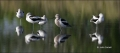 American-Avocet;Avocet;Recurvirostra-americana;Panoramic;shorebirds;close-up;col
