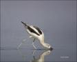American-Avocet;Avocet;Recurvirostra-americana;shorebirds;one-animal;close-up;co