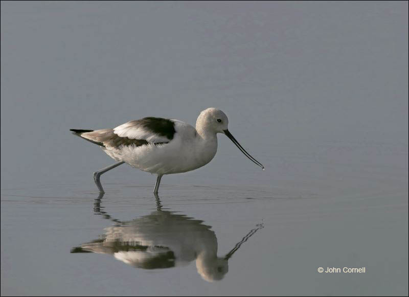 American Avocet;Avocet;Recurvirostra americana;shorebirds;one animal;close-up;color image;nobody;photography;day;birds;animals in the wild;beach;mud flat;foraging;water;Shorebird;outdoors;Wildlife;Mud Flat;Reflection;waders;closeup;close up;wildlife;bird;feeding;shallows;color photograph