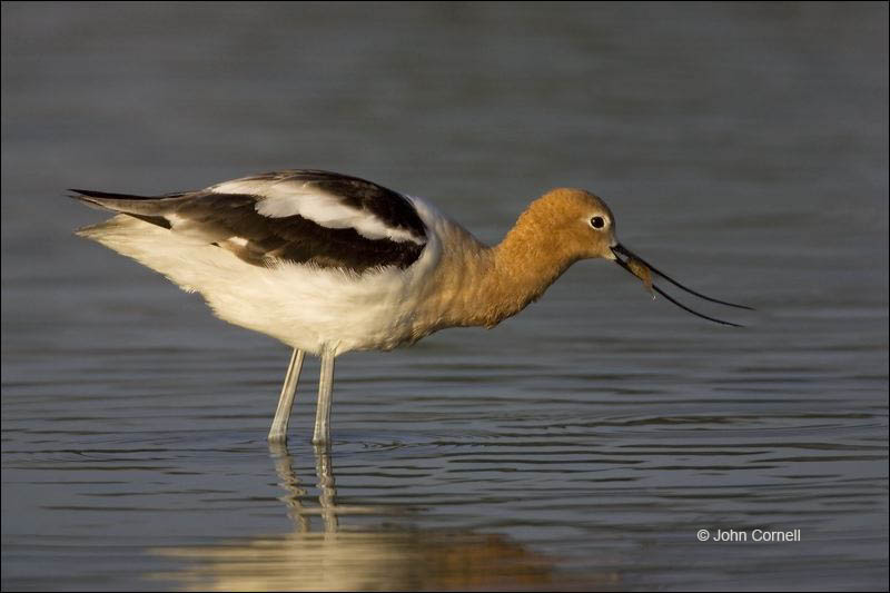 Avocet;American Avocet;Recurvirostra americana;shorebirds;one animal;close-up;color image;nobody;photography;day;birds;animals in the wild;beach;mud flat;foraging;water;Shorebird;outdoors;Wildlife;Mud Flat;Breeding Plumage
