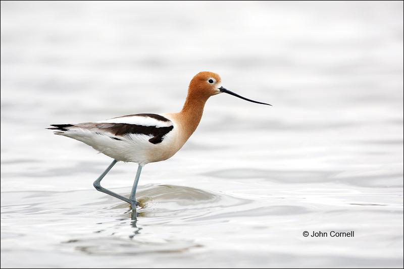 American Avocet;Avocet;Recurvirostra americana;Shorebird;shorebirds;waders;closeup;close up;color image;photography;day;outdoors;wildlife;bird;birds;animals in the wild;mud flat;beach;water;foraging;feeding;shallows;color photograph
