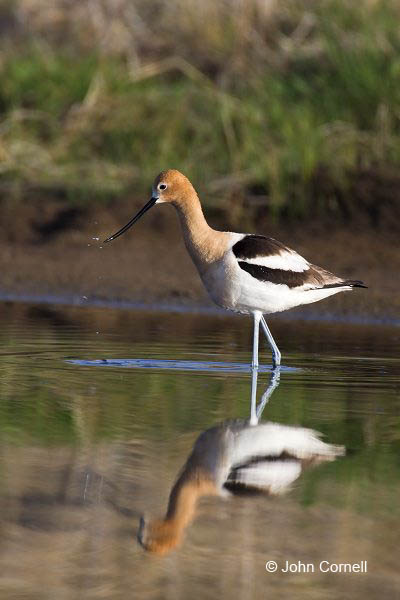 American Avocet;Avocet;Recurvirostra americana;Shorebird;Foraging;Water;one;one animal;avifauna;bird;birds;feather;feathered;outdoors;outside;untamed;wild;color;color photograph;daytime;shorebirds;closeup;color image;photography;day;wildlife;animals in the wild;mud flat;beach;water;foraging;feeding;Reflection;waders;close up;shallows