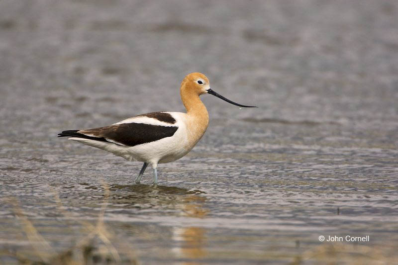 American Avocet;Avocet;Recurvirostra americana;One;one animal;avifauna;bird;birds;feather;feathered;outdoors;outside;untamed;wild;color;color photograph;daytime;close up;color image;photography;animals in the wild;feathers;wilderness;perch;perching;watching;watchful;Shorebird;shorebirds;closeup;day;wildlife;mud flat;beach;water;foraging;feeding;Close up;Mud Flat;Breeding Plumage