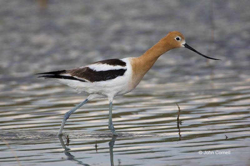 American Avocet;Avocet;Recurvirostra americana;Shorebird;Foraging;Water;one;one animal;avifauna;bird;birds;feather;feathered;outdoors;outside;untamed;wild;color;color photograph;daytime;One;close up;color image;photography;animals in the wild;feathers;wilderness;perch;perching;watching;watchful;shorebirds;closeup;day;wildlife;mud flat;beach;water;foraging;feeding;Close up;Mud Flat;Breeding Plumage