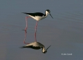 Black_necked-Stilt;Reflection;Himantopus-mexicanus;Shorebird;shorebirds;closeup;