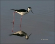 Black_necked-Stilt;Reflection;Himantopus-mexicanus;one-animal;close_up;color-ima