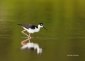 Himantopus-mexicanus;Black_necked-Stilt;One;one-animal;avifauna;bird;birds;feath