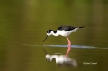 Black_necked-Stilt;Himantopus-mexicanus;Stilt;One;one-animal;avifauna;bird;birds