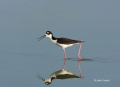 Reflection;Black-necked-Stilt;Himantopus-mexicanus;Black_necked-Stilt;Shorebird;