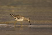 Animals-in-the-Wild;Dowitcher;Limnodromus-griseus;Mud-Flat;Photography;Shorebird