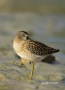 Short-billed-Dowitcher;Dowitcher;shorebirds;Shorebird;Limnodromus-griseus;Sleepi