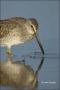 Florida;Southeast-USA;Short-billed-Dowitcher;Dowitcher;Limnodromus-griseus;shore