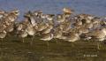 Short-billed-Dowitcher;Dowitcher;Flock;Florida;Southeast-USA;shorebirds;Shorebir