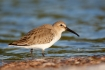 Animals-in-the-Wild;Calidris-alpina;Dunlin;Mud-Flat;Photography;Shorebird;beach;