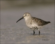 Dunlin;Florida;Shorebird;shorebirds;one-animal;close-up;color-image;nobody;photo