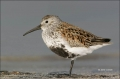 Florida;Dunlin;Shorebird;Calidris-alpina;shorebirds;one-animal;close-up;color-im