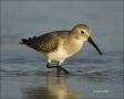 Florida;Dunlin;Southeast-USA;Calidris-alpina;shorebirds;one-animal;close-up;colo
