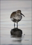 Florida;Southeast-USA;Dunlin;Breeding-Plumage;Shorebird;Calidris-alpina;shorebir