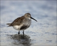Dunlin;Breeding-Plumage;Shorebird;Calidris-alpina;shorebirds;one-animal;close-up