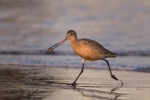 Godwit;Limosa-fedoa;Marbled-Godwit;Mud-Flat;Shorebird;Shoreline;Surf;Waves;forag