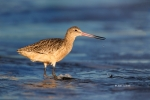 Limosa-fedoa;Marbled-Godwit;One;avifauna;bird;birds;color-image;color-photograph
