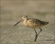 Florida;Godwit;Marbled-Godwit;Limosa-fedoa;shorebirds;one-animal;close-up;color-