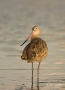Godwit;Limosa-fedoa;Marbled-Godwit;shorebirds;one-animal;close_up;color-image;no