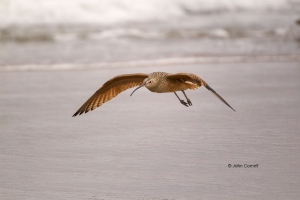 Curlew;Long-billed-Curlew;Numenius-americanus;Sand;Shorebird;Shoreline;Surf;beac