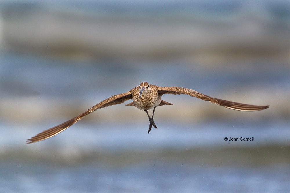 Flying Bird;Numenius phaeopus;Photography;Shoreline;Waves;Whimbrel;action;active;aloft;behavior;birds;color image;flight;fly;flying;foraging;in flight;motion;movement;one animal;soar;soaring;wing;winged;wings