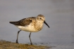 Animals-in-the-Wild;Florida;Mud-Flat;Photography;Sandpiper;Semipalmated-Sandpipe