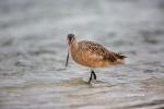 Godwit;Limosa-fedoa;Marbled-Godwit;Preening;Sand;Shorebird;Wading;foraging;mudfl