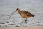 Curlew;Long-billed-Curlew;Numenius-americanus;Preening;Sand;Shorebird;Wading;for