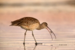 Curlew;Long-billed-Curlew;Numenius-americanus;One;avifauna;bird;birds;color-imag