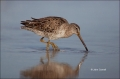 Short-billed-Dowitcher;Dowitcher;Limnodromus-griseus;Shorebird;shorebirds;closeu