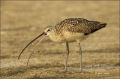 Florida;Long-billed-Curlew;Curlew;Numenius-americanus;feeding-behavior;one-anima